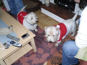 westies at christmas